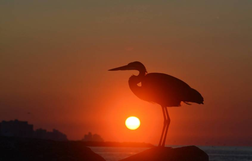 Great Blue Heron stands on the beach with the sun rising in the background