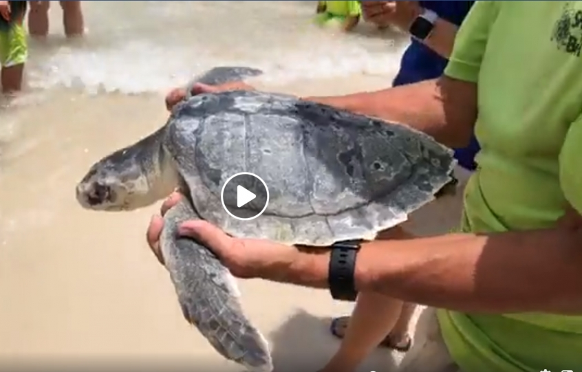 A Kemp's Ridley sea turtle is carried to the beach to be released in the Gulf of Mexico on Thursday, June 20, 2019