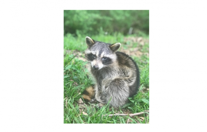 Caution: Be alert to raccoons exhibiting signs of distemper
