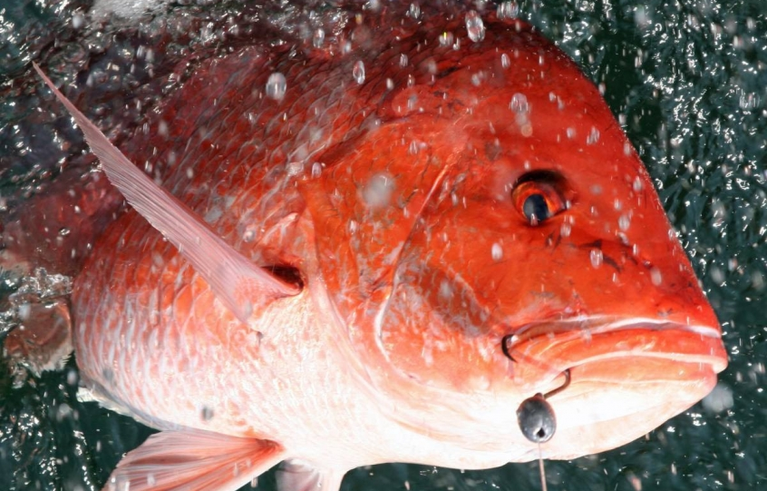 Red snapper photo by David Rainer