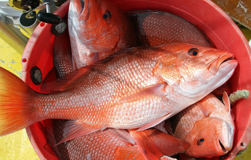 Red snapper in a bucket