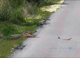 Alligator crosses path on Hugh S. Backcountry Trail at Alabama Gulf State Park