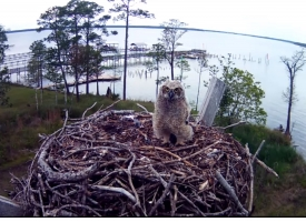 Baby owl from Wolf Bay camera