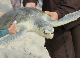 Guill, a rehabilitated Kemp's ridley sea turtle, released on Nov. 20, 2017