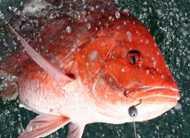 Red Snapper with hook in mouth - Photo by David Rainer, ADCNR