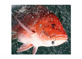Red Snapper Photo by David Rainer, ADCNR