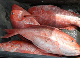 Four red snapper in bin