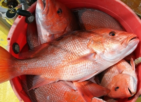 Bucket full of red snapper