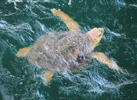 Sea turtle in Gulf of Mexico with full body in view, head cresting the water
